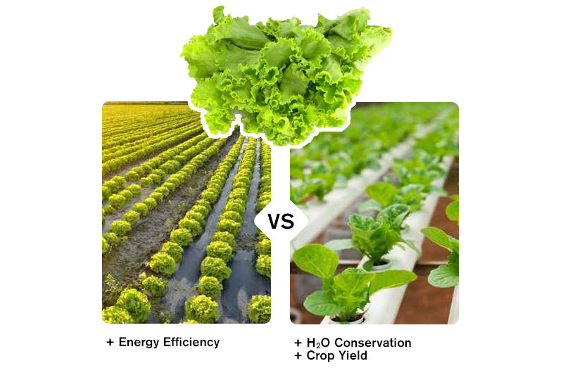 Hydroponics Lettuce Yields 11 Times More Produce